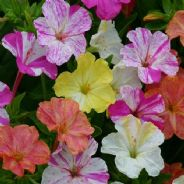 Mirabilis Jalapa Striped - 5 grams - 100 grams